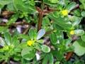 6-Portulaca-oleracea-2-b