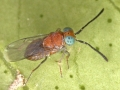 Anagyrus-pseudococci-Encyrtidae-Mareny-22-6-2013-12-b