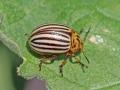 leptinotarsa-decemlineata-chrysomelidae-valencia-agost06-3-b